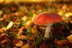 Красный гриб мухомора Стоковое Изображение RF