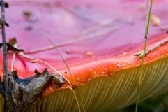 Красный гриб на траве в лесе Стоковое Изображение