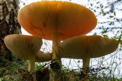 Красный гриб на траве в лесе Стоковая Фотография