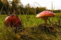 Красный гриб на траве в лесе Стоковая Фотография RF