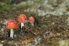 Красный гриб пластинчатого гриба мухы, muscaria мухомора Стоковые Изображения RF