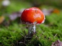 Красный гриб Стоковое фото RF
