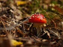 Красный гриб Стоковое Изображение RF