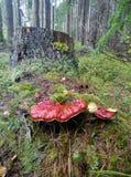 Красный гриб Стоковая Фотография RF