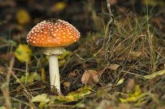 Красный гриб toadstool в лесе пока Стоковое Изображение RF