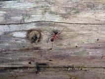 Красный деревянный муравей, южный деревянный муравей, или муравей лошади, Стоковая Фотография RF