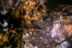 Красный деревянный муравей Стоковые Фото