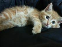 Красный европейский кот Стоковые Фотографии RF
