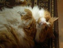 Красный енот Мейна Стоковое Фото