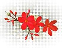 Красный жасмин Стоковые Изображения RF