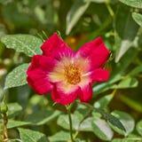 Красный желтый одичалый розовый крупный план в саде стоковые фотографии rf