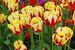 красный желтый цвет тюльпанов Стоковые Изображения
