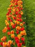 красный желтый цвет тюльпанов Стоковые Фотографии RF