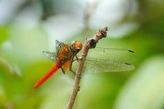 Красный женский Dragonfly Стоковые Изображения