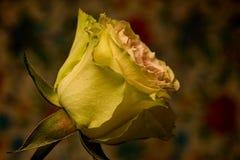 Красный желтый брызг поднял Стоковая Фотография