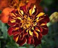 Красный & желтый цветок стоковая фотография rf