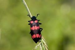 Красный жук волдыря Стоковое Изображение