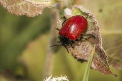 Красный жук лист тополя (populi Melanosoma) Стоковая Фотография