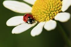Красный жук Стоковое фото RF