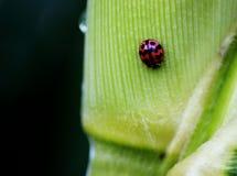 Красный жук Стоковые Фотографии RF