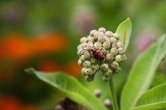 Красный жук Milkweed на бутонах цветка Milkweed стоковое фото rf