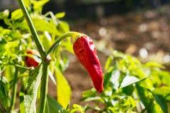 Красный завод паприки в саде красный цвет горячего перца chili Стоковое Изображение