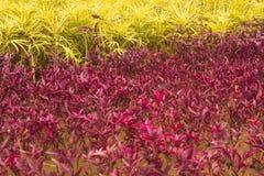 Красный завод шпината Стоковое Изображение