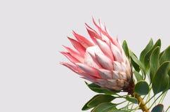 Красный завод protea короля на белой предпосылке стоковая фотография
