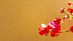 Красный завод bourgainveilla весной Стоковая Фотография RF