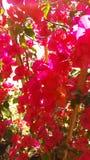 Красный завод bourgainveilla весной Стоковое Изображение RF