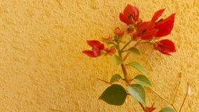 Красный завод bourgainveilla весной Стоковые Фотографии RF