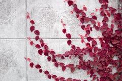 Красный завод Creeper на стене Стоковые Фото