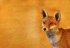 Красный заполненный Fox Стоковые Фото
