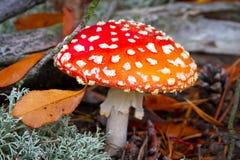 Красный запятнанный toadstool в пуще Стоковое Изображение RF