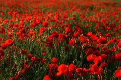 красный засоритель Стоковое Фото