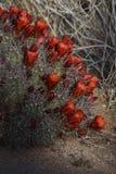 Красный зацветать кактуса ежа пустыни Стоковые Изображения