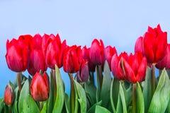 Красный зацветать тюльпанов Стоковая Фотография