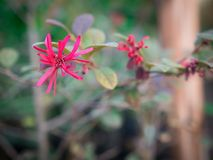 Красный зацветать цветков Loropetalum Chinense стоковые фотографии rf