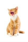 Красный зевая котенок Стоковые Изображения