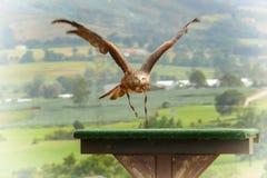 Красный змей (milvus Milvus) Стоковая Фотография