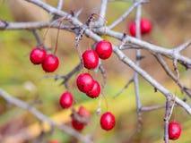 Красный зрелый боярышник ягод на обнаженных ветвях в autumn_ стоковая фотография