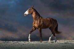 Красный идти рысью лошади стоковое изображение rf