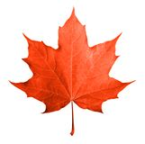 Красный изолированный кленовый лист Стоковая Фотография