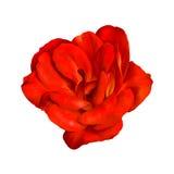 Красный изолированный цветок Camelia Стоковое фото RF