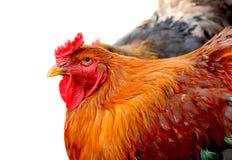 Красный изолированный цыпленок Стоковое Изображение