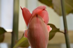 Красный имбирь факела в саде Стоковые Изображения RF