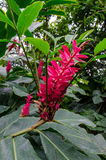 Красный имбирь Стоковые Фото