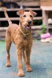 Красный ирландский терьер Собака, любимчик стоковая фотография