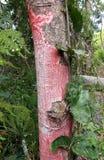 Красный лишайник Стоковое Изображение
