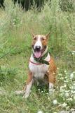 Красный и белый английский terrier быка сидя на поле Стоковое фото RF